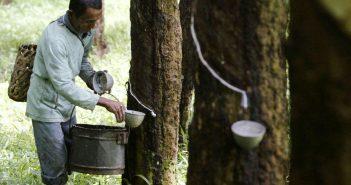 INDONESIA_-_piante_di_gomma